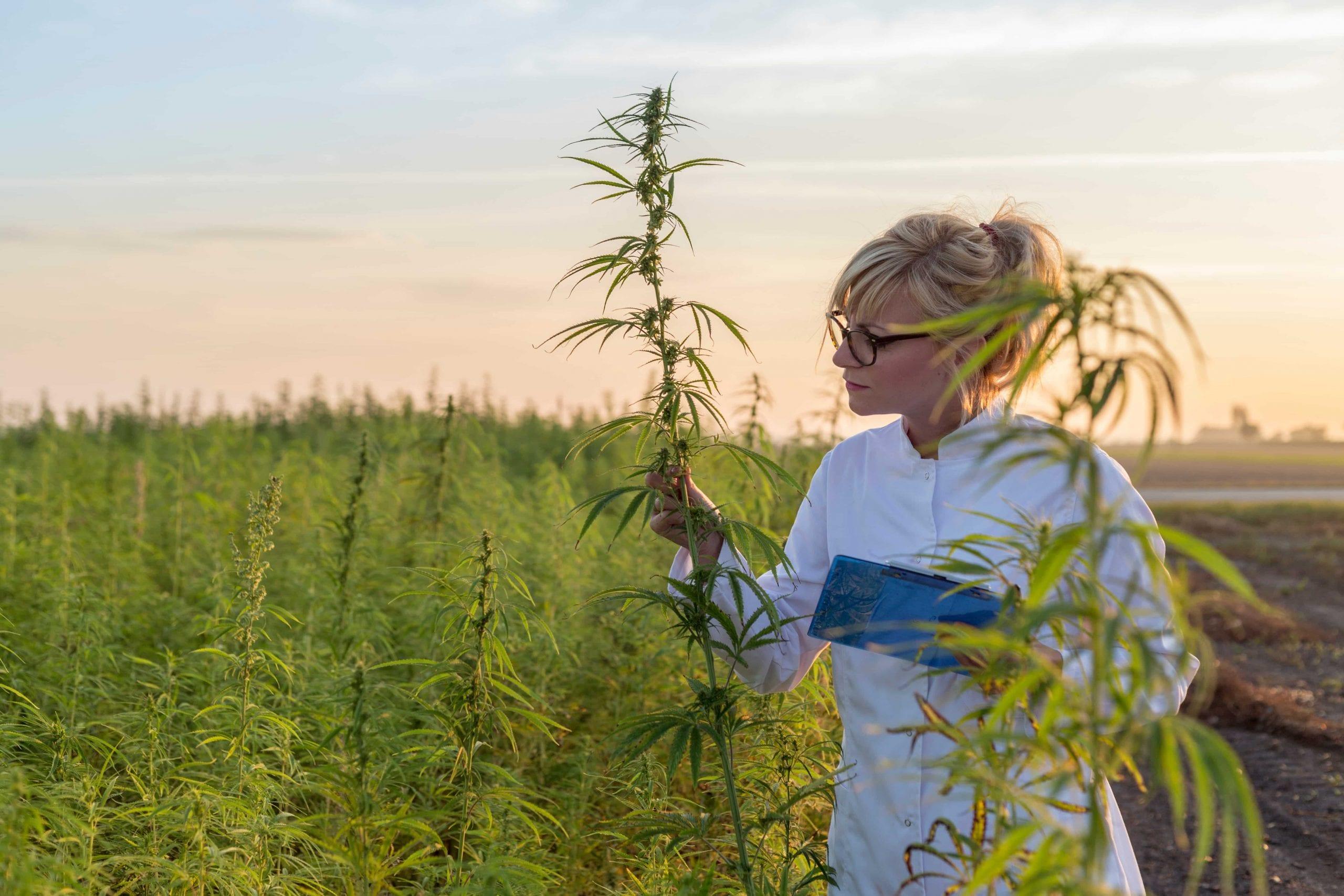 woman in marijuana field