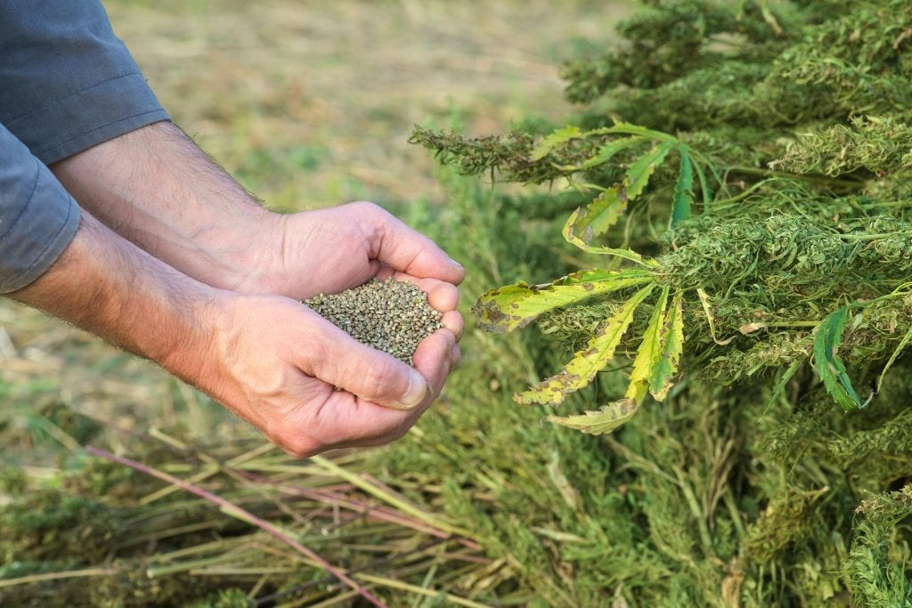 hemp seeds collected during hemp harvesting process